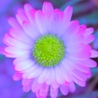 Daisy 4500CropEdit 2013.04.28Blog