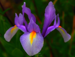 Iris 7839CropEdit 2013.06.28Blog
