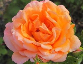 Rose 8397CropEdit 2013.07.11Blog