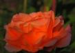 Rose 8407CropEdit 2013.07.10+11Blog
