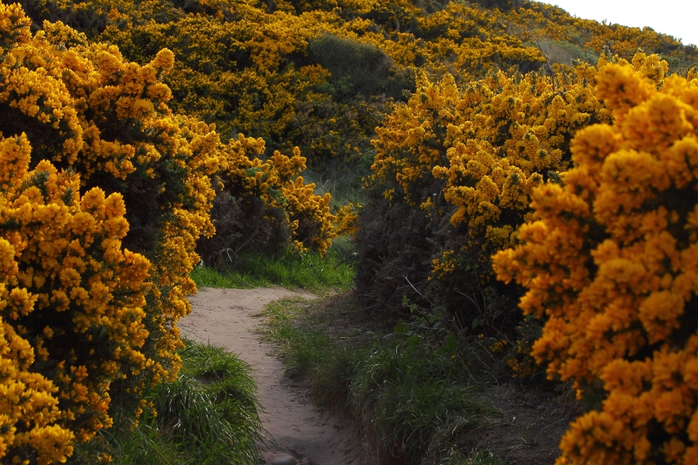 Walk in the Sea of Yellow - Immersed in the sweet coconut-vanilla-honey scent of the blooming gorse in Hopeman - 2018.05.05 Hopeman Gorse 5070Blog